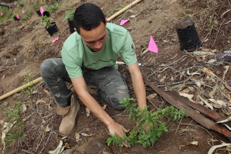 Senior Kūpono Aguirre plants an ʻopiuma at the Skyline Eco Adventure annual tree planting held on Saturday.
