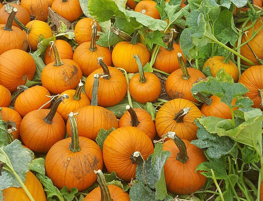 This bountiful pumpkin harvest is something to be thankful for.